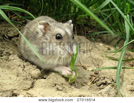Hamster is eating grass outgrowth