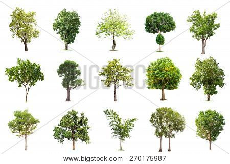 Isolated Big Tree On White Background ,the Collection Of Trees.large Trees Database Botanical Garden