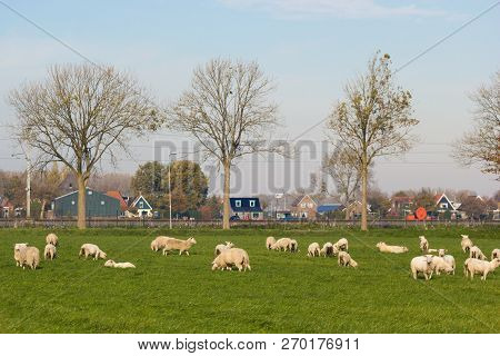 Noord Holland, The Netherlands - November 3 2018: Sheep Grazing In North Holland Farmland Outside Vi