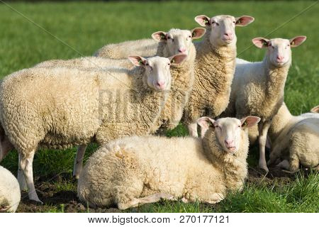 Farm Stock Sheep Looking Alert At Camera
