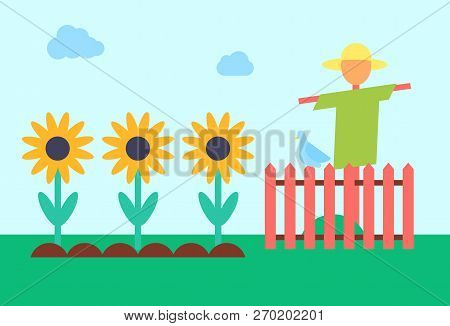 Scarecrow Bogey And Sunflowers Field. Bugaboo Enclosed With Wooden Fence Protecting Crop From Crows.