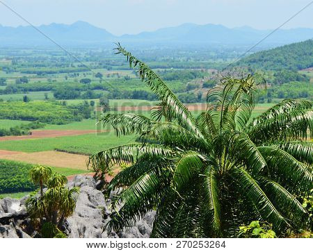 Cycas Plant Tree / Green Cycad Growing On The Rocky - Cycad Planted On Hill Or Fern Tree Cycad Cobia