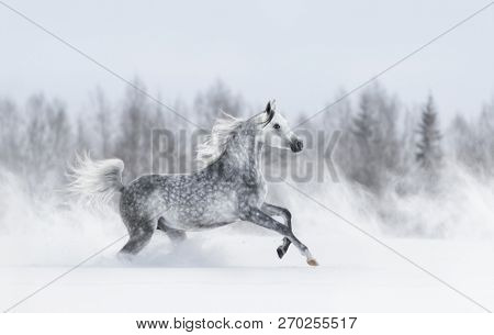 Grey arabian horse galloping during snowstorm across winter snowy field. Side view.
