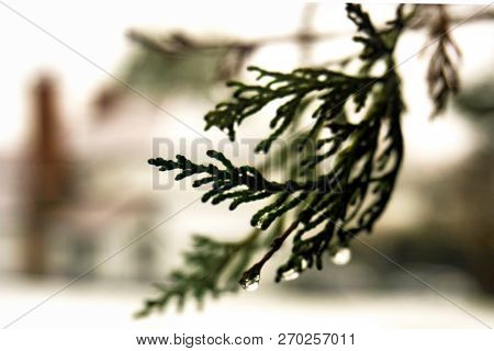 Winter Background Conifer With Drips Of Rain