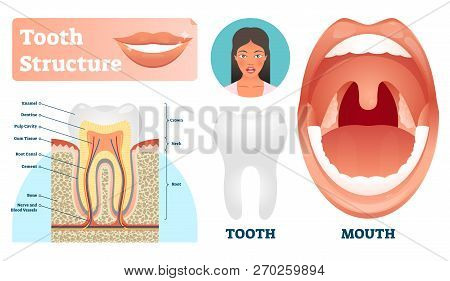 Tooth Structure Vector Illustration. Labeled Medical Healthy Teeth Scheme. Educational Diagram With