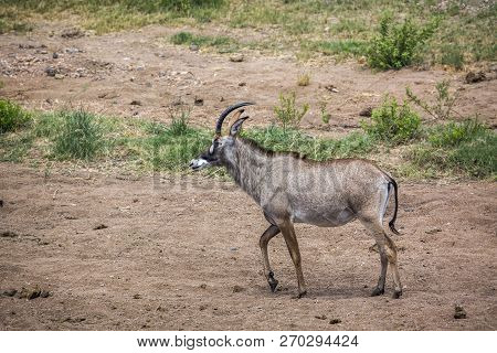 Roan Antelope Walking In Savannah In Kruger National Park, South Africa ; Specie Hippotragus Equinus