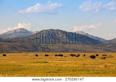 The Herd Bison In Yellowstone National Park, Wyoming. Usa.  The Yellowstone Park Bison Herd In Yello