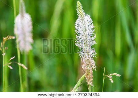 Close up white flower of Plantago in blossom poster