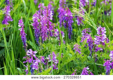 Beautiful Blossoming Vicia Tenuifolia In Green Grass