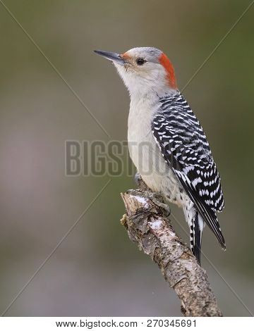 Red-bellied Woodpecker (melanerpes Carolinus) Perched On A Dead Branch - Ontario, Canada