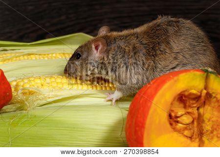 Close-up Rat  (rattus Norvegicus) Eating Corn Near Red Pumkin Inside  Of  Pantry.