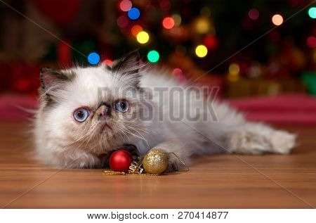 Funny Persian Colorpoint Kitten Lies In Front Of A Christmas Tree With Two Ball Ornaments