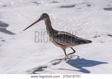 Coastal Willet bird wading through the foamy ocean water of shore while foraging for food at the beach. poster