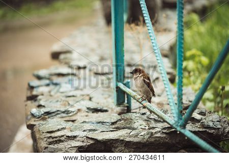 Small Young Wet Sparrow Sits On Blue Fence Of Backyard In Rainy Weather With Copy Space. Bright Back