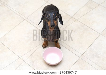 Top View Of A Funny Dog Breed Dachshund, Black And Tan, Looks At His Owner With Patience Waiting For