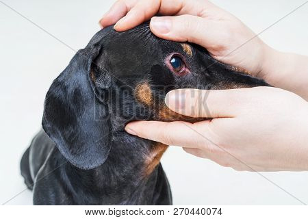Veterinarian Check On The Eyes Of A Dog Dachshund. Conjunctivitis Eyes Of Dog. Medical And Health Ca