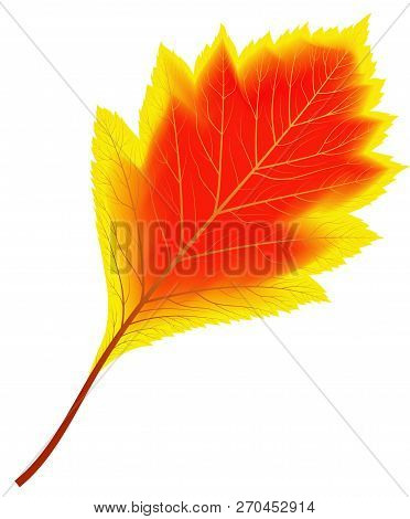 Image Of Red And Yellow Autumn Aspen Leaf - Vector