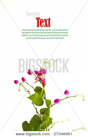 Beautiful pink flower of small weed isolated on white background.