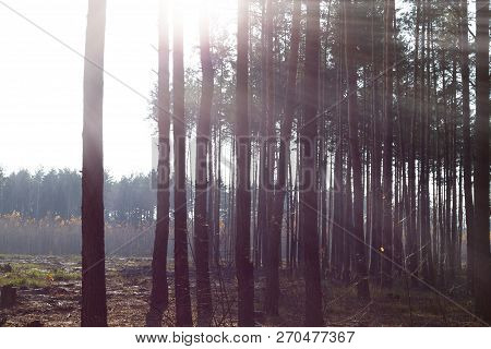 Edge Of The Forest Overlooking The Area For Cutting Down. Trees In The Rays Of The Bright Sun. The E