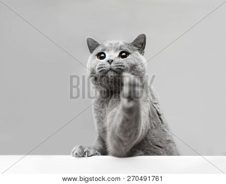 Young grey cat playing, raising his paw. Purebred domestic animal. British shorthair.