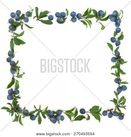 Sloe berry border on white background with copy space. Also known as blackthorn.