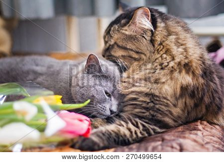 Cats Sleep Together On A Blanket. Gray Scottish Cat And Adult Cat. Pet. Cat Hugs Cat Gently And Hugs
