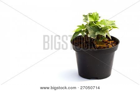 Little plant in a black pot . Isolated on white background. Space for text.