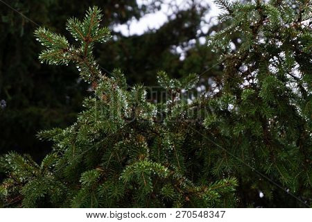 Pine Branch With Drops After Rain. Spruce Branch Leaves With Rain Drops.green Lush Spruce Branch. Gr