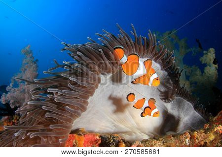 Clown Anemonefish (Clownfish) fish