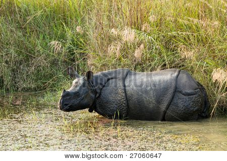 wild Rhinoceros unicornis in chitwan national  park, nepal