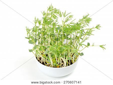 Sweet Lupin Bean Seedlings In White Bowl. Young Lupini Bean Plants, Sprouted From Lupin Bean Kernels