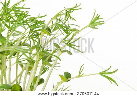 Sweet Lupin Bean Seedlings On White Background. Young Lupini Bean Plants, Sprouted From Lupin Bean K