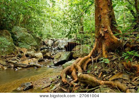 big tree roots and river in tropical rainforest, kaeng krachan national park, thailand