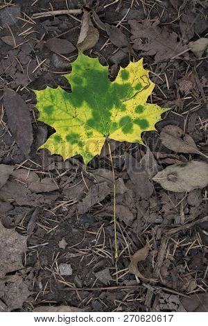 Norway Maple Leaf On Bed Of Decaying Leaves