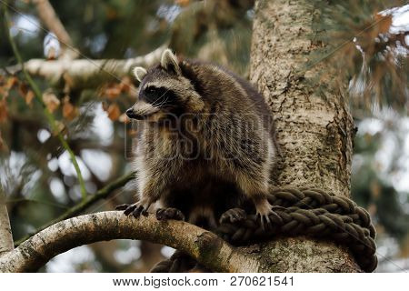 View Of Adult Female Common Raccoon On The Tree Branch. Photography Of Nature And Wildlife.