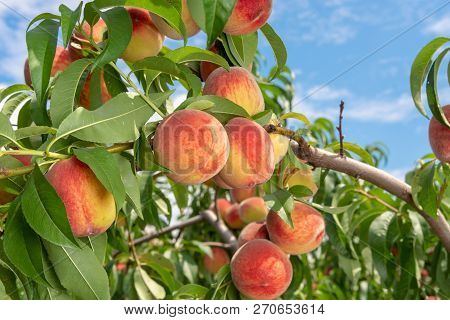 Peach Fruits On A Tree Branch With Leaves Against A Blue Sky. Fruit Peach Garden Concept