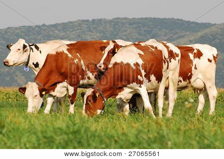 herd ow cows grazing on grass field