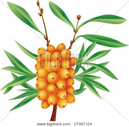Branch of sea-buckthorn berries with berries