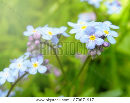Blue Forget Me Nots On A Background Of Green Grass, Sunny Day