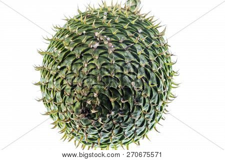 Female Cone Of A Norfolk Island Pine, Or Araucaria Heterophylla, A Conifer Of The Vascular Plants, E