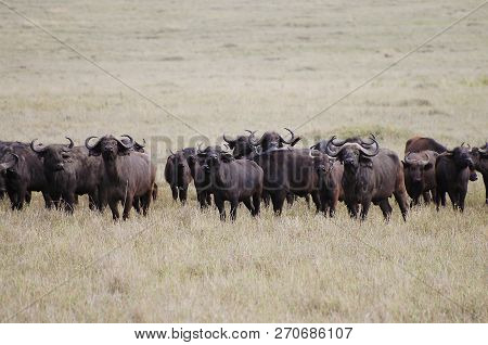 Wild Buffalos - Ngorongoro Crater - Kenya poster