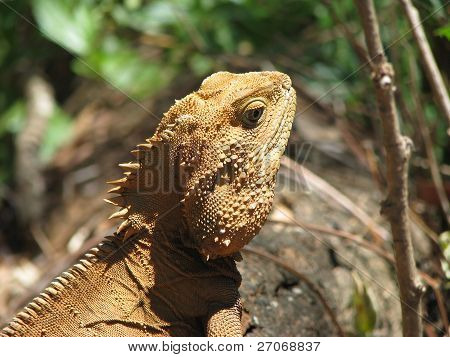 orange eastern water dragon