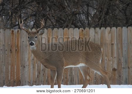 A White Tail Buck Standing Against A Picket Fence.