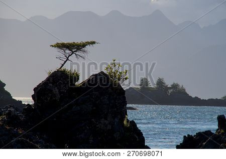 Unique Shaped Lone  Dwarf Spruce Tree Growing From Top Of Rock With Mountains Of Brookes Peninsula I