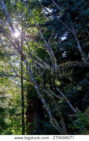 Sun Shines Through The Tree Branches Lighting The Moss On The Alder Trees On The Brookes Peninsula,
