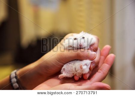 Cute Exotic Winter White Dwarf Hamster (winter White Dwarf, Siberian Hamster) In Tears, Struggling T