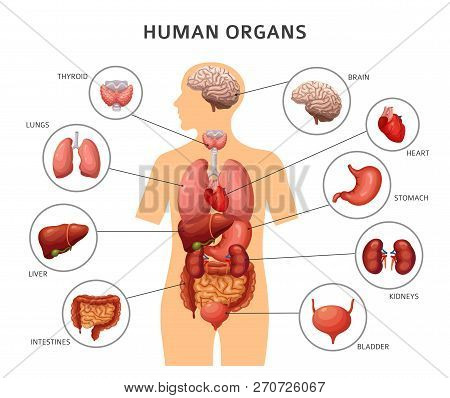 Human Body Internal Organs. Stomach And Lungs, Kidneys And Heart, Brain And Liver. Medical Anatomy V