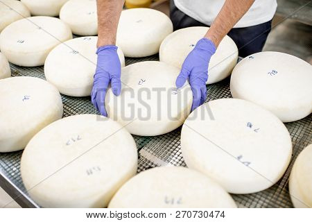 Worker In Protective Gloves Taking Fresh Salted Cheese Wheel Ready For Aging Process At The Manufact