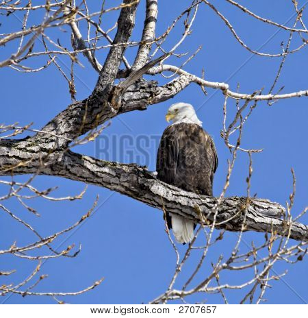 Bald eagle perched in a tree against a bright blue sky poster