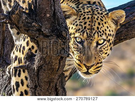 The concept of exotic and extreme tourism. Happy and well fed leopard resting on a tree. African spotted leopard after feeding. Travel to Namibia
